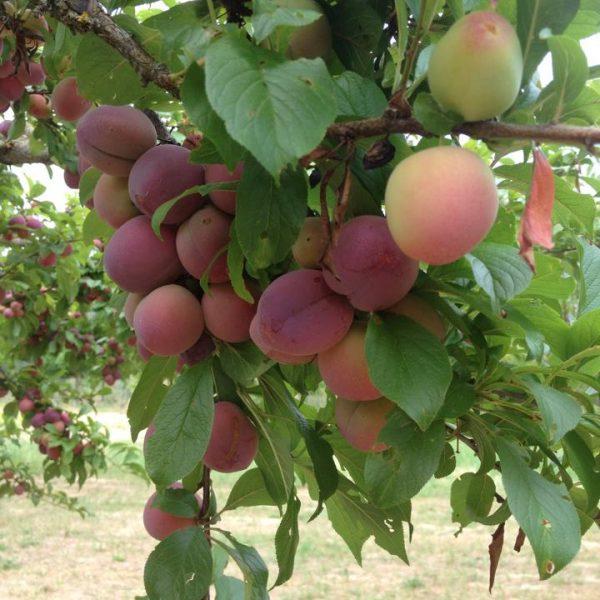 frutteto 6