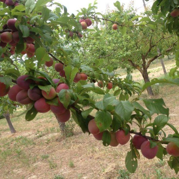frutteto 8