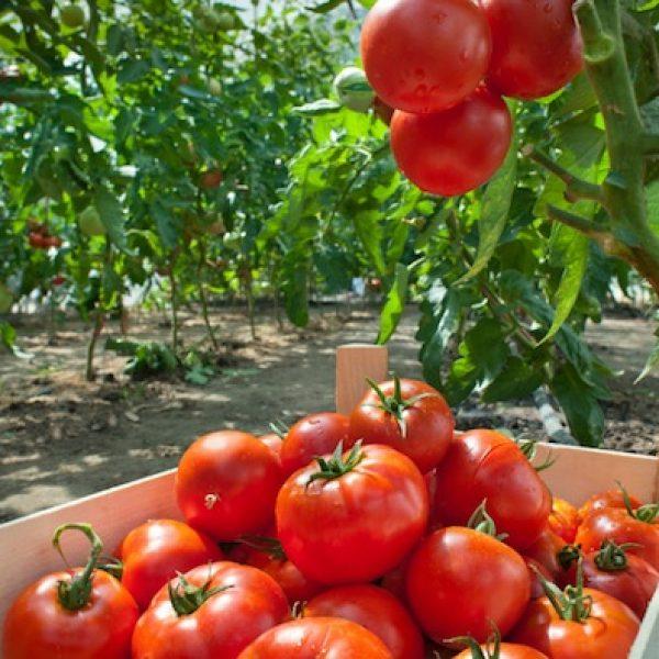Picking tomatoes